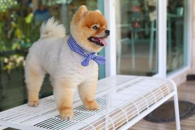 青いスカーフをしたポメラニアン