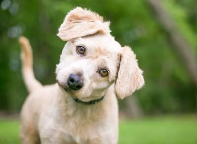 首を傾げる子犬