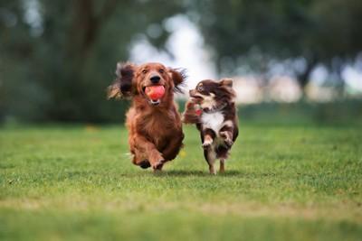 ボールをくわえて走る犬とその子を見つめて走る犬