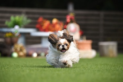 うれしそうに走るシーズー犬
