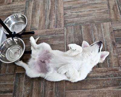 フードボウルの前で仰向けになる犬
