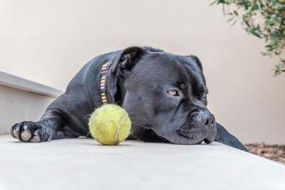 テニスボールとつまらなそうな犬
