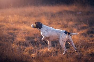 前足でポイントしている犬