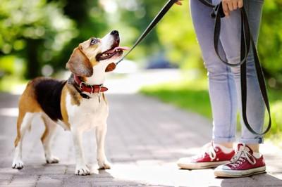 散歩中に見上げている犬