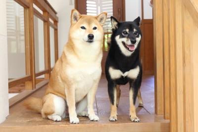 玄関に座る二匹の柴犬