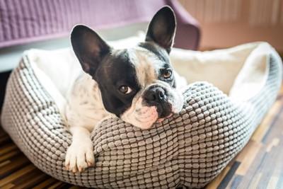 犬用ベッドに座るフレンチブルドッグ