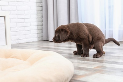 室内でウンチをしようとする犬