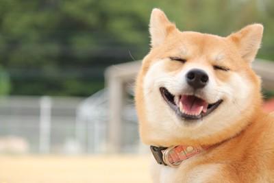 目を瞑った笑顔の柴犬