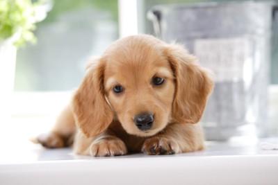 こちらを見つめるトイプードルの子犬
