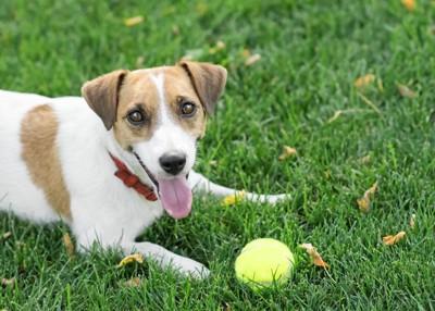 黄色いボールと犬