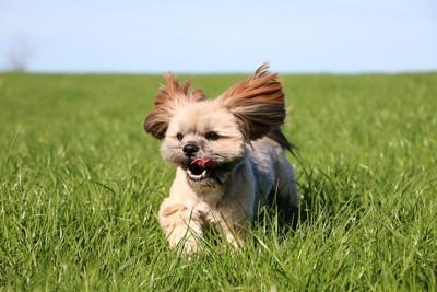 草原を走る小さなラサアプソ