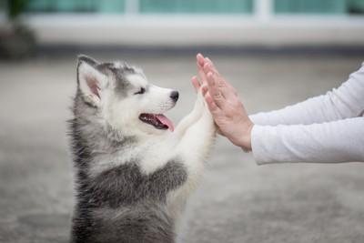 飼い主とハイタッチするハスキーの子犬