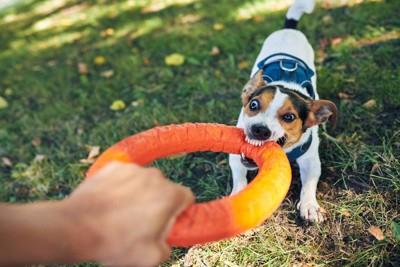 すごい顔でおもちゃを引っ張る犬