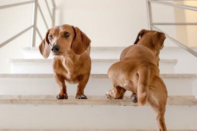白い階段を上っている2匹の犬