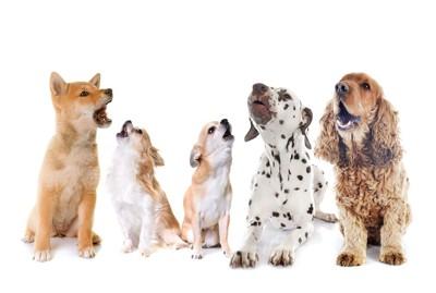 上を向いて吠えている5匹の犬