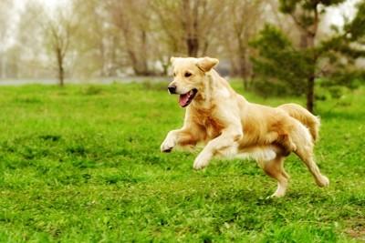 芝生を走り回るゴールデンレトリバー