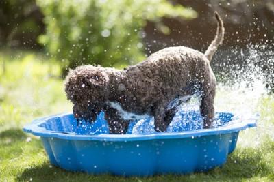 青い容器で水遊びをする犬