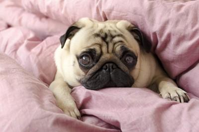 ベッドから見つめるパグ