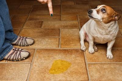 床に粗相をして叱られている犬