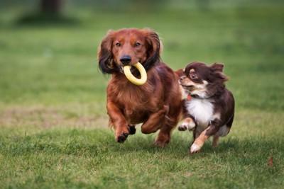 おもちゃをくわえて走る二頭の犬