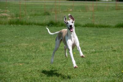 笑顔で芝生を走る犬