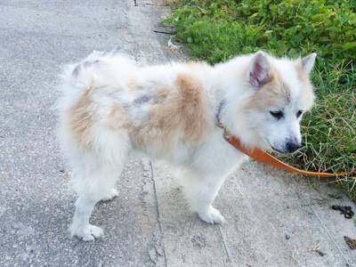 茶色いリードを着けた犬