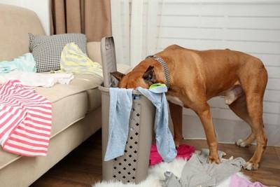 洗濯物とカゴの中に顔を入れている犬