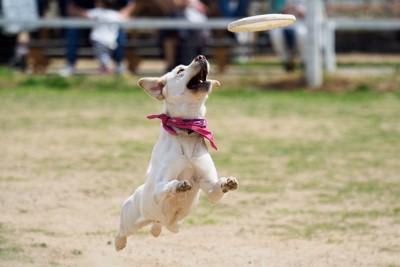 フリスビーに飛びつく犬