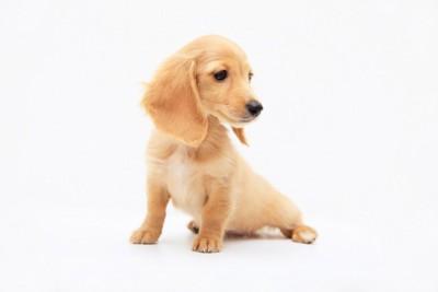 横を向いているミニチュアダックスフンドの子犬