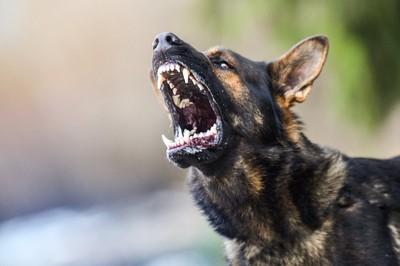 歯を剥き出して吠えている犬