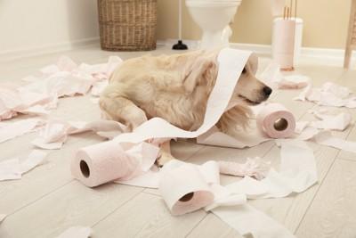 トイレットペーパーを散らかす犬