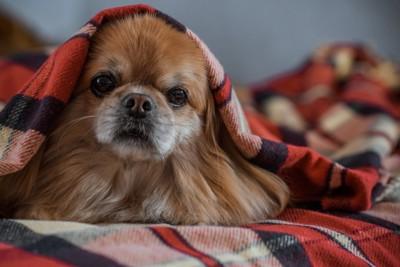 頭から毛布をかぶっている茶色い犬