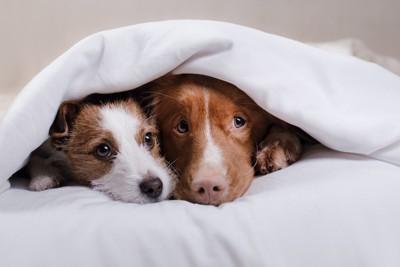 布団から顔を出す二頭の犬