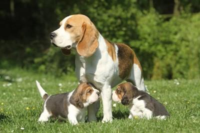 母犬に寄り添うビーグルの子犬