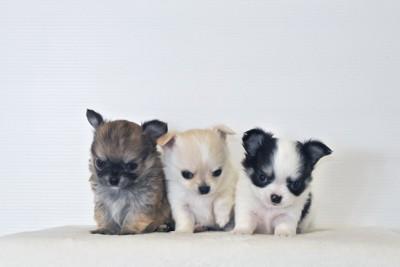 並んで座る小さな三匹のチワワ