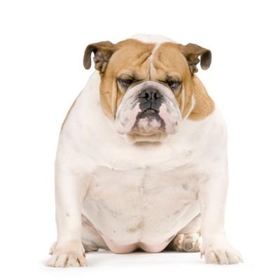 太り過ぎの犬