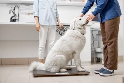 病院で体重計に乗る白い大型犬