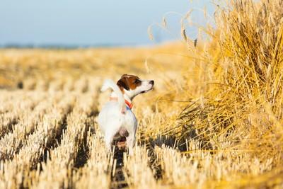 麦畑で匂いを嗅いでいる犬