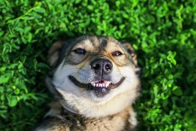 笑顔で寝転がる犬