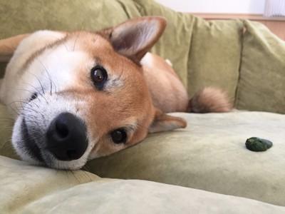 ;柴犬の写真