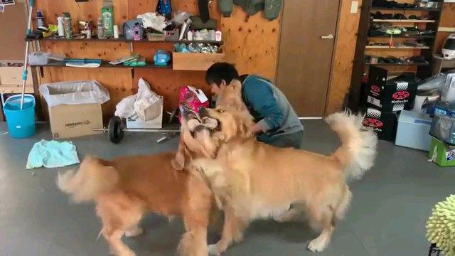 玩具取り合う犬二匹