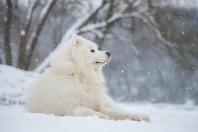 地面に伏せて雪を眺めているサモエド