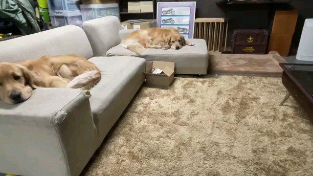 寝る2匹犬