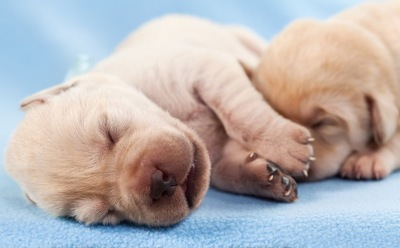 眠るラブラドールの子犬