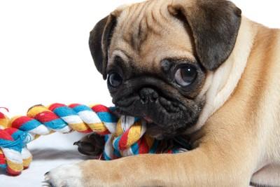 ロープのおもちゃで遊ぶパグ
