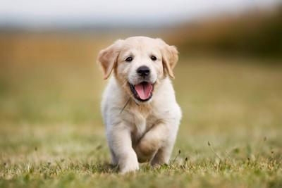 こちらに向かって走るゴールデンレトリーバーの子犬