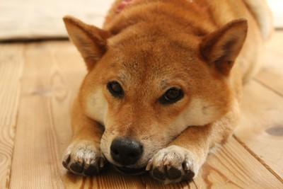 ドヤ顔の柴犬