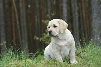 おすわりをするラブラドールレトリバーの子犬