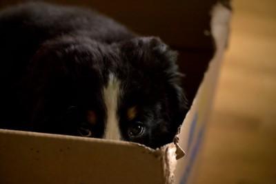 ダンボールに隠れる犬
