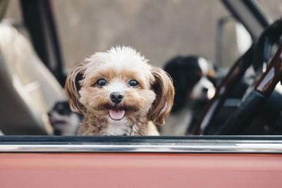 車の中から見つめる犬